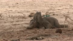 Desert elephant (Loxodonta africana)  tiny calf lying on the ground to rest in a dry Hoanib riverbed, Namibia.