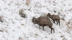 Bighorn sheep (Ovis canadensis) ram with two ewes on a snowcovered slope eating sage bushes