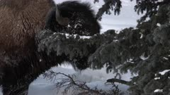 American Bison (Bison bison) male eating from a fir tree, Yellowstone N.P.