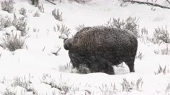 American Bison (Bison bison) bull scraping away snow, grazing in snowcovered field, while snowing heavily, Yellowstone N.P.