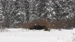 Moose (Alces alces) bull plowing through snowcovered forest in Yellowstone N.P.