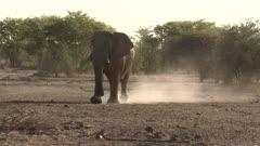 African Elephant (Loxodonta africana) bull walking towards camera, creating dust in backlight, Namibia.