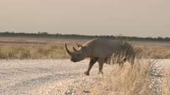 Black Rhinocerus ((Diceros bicornis)  crossing a road, in early morning light, Namibia.
