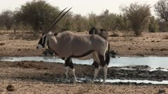 Oryx (Oryx gazella) or Gemsbok, standing beside a small pool, with an Ostrich in the background, Namibia