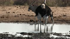 Ostrich (Struthio camelus) male drinking from a small pool, with an Oryx in the background, Namibia.