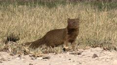 Slender mongoose (Galerella sanguinea) on the ground at eye-level, Namibia