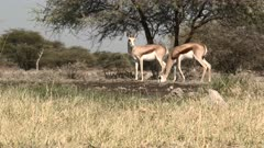Springbok (antidorcas marsupialis ) at a waterhole, one jumping away, in low angle, groundlevel, Namibia