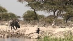 Warthog (Phacochoerus africanus) male walking around a waterhole, in eye level low angle.