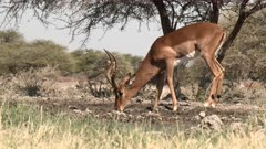 Impala (Aepyceros melampus) male drinking at a waterhole, one other approaching in background, Namibia.