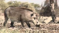 Warthog (Phacochoerus africanus)  drinking at a waterhole, in eye level low angle.