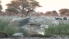 Great Blue Heron (Ardea herodias) hunting and catching a fish at a waterhole.