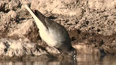 Cape turtle-or ring-necked dove (Streptopelia capicola) drinking at a waterhole, eye-level view.