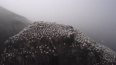 Northern Gannet (Morus bassanus) colony, in the mist, breeding on cliff overlooking the Ocean at Cape St.Mary's