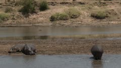 Hippo (Hippopotamus amphibius)  on a beach, one carefully approaching two others, Mara river, Serengeti N.P. Tanzania.
