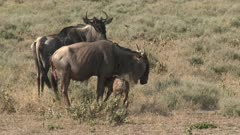Blue Wildebeest (Connochaetes taurinus)  newborn calf tumbling and falling