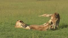 African lion (Panthera leo) females greeting and playing together, Masai Mara, Kenya.