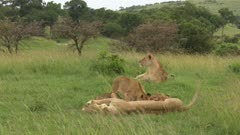 African lion (Panthera leo) females with cubs lactating, one female looking alert in distance, Masai Mara, Kenya.