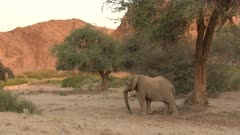 Desert elephant (Loxodonta africana) walking in the dry Hoanib river bed, in early morning light,Namibia.
