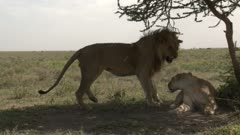Lions (Panthera leo) couple mating, female growling at male.