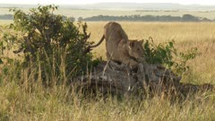 African Lion (panthera leo) juvenile playing on a fallen tree