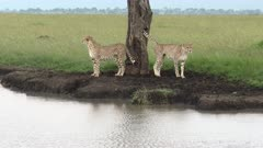 Cheetah (Acinonyx jubatus)  two brothers, beside a tree at a water edge,  in search for prey, Masai Mara, Kenya