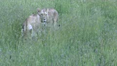 Three Lions (Panthera leo) females scanning the area to get ready for the hunt