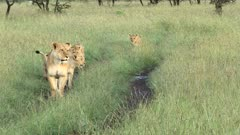 African lion (Panthera leo) female with her five cubs, walking on a track, Masai Mara, Kenya.