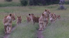 African lion (Panthera leo) females with six cubs walking on a road,  towards camera, suddenly seeing prey in distance, Masai Mara, Kenya.
