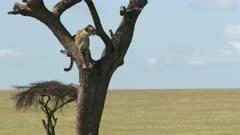 Cheetah (Acinonyx jubatus)sitting in a tree, overlooking the savannah, Masai Mara, Kenya