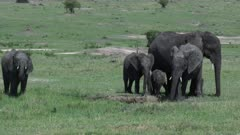 African Elephant  (Loxodonta africana) baby with mother and aunts around waterhole, spraying water