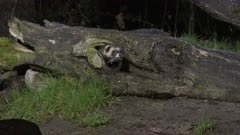 European polecat (Mustela putorius) with a caught mouse in his mouth, coming out a tree stump, at night.