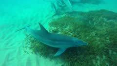 bottlenose dolphin reef rub