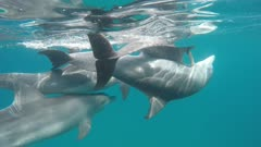 bottlenose dolphin social sexual behavior