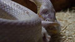 Albino snake feeding on mouse