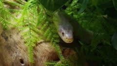 Albino snake stalking mouse