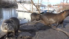 Coypu eating