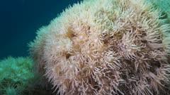 Soft coral goniopora