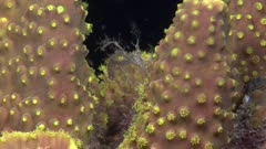 Spiny spider crab