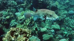 Arothron stellatus swimming along coral reef