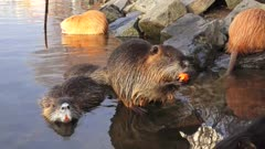 Coypu eating and grooming on the river bank