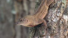 Brown anole on a tree
