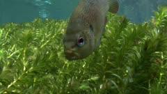 Fresh water Florida fish, Santa Fe river
