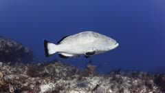 Grouper swimming