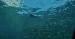 School of Sardines swim past frame in different directions, Sea Lion swims through them