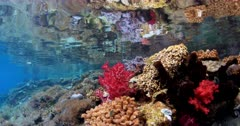 Coral reflecting off surface as camera travels along reef and fish, tilt down to coral