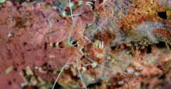 Shrimp crawls on coral