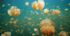 Traveling through lagoon filled with jellyfish, tilt down to high angle of jellyfish