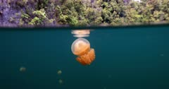 Jellyfish floating near surface of lagoon