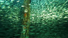 Huge school of scad swimming under dock