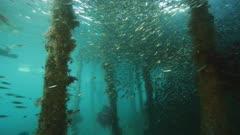 travelling through huge school of scad swimming under dock